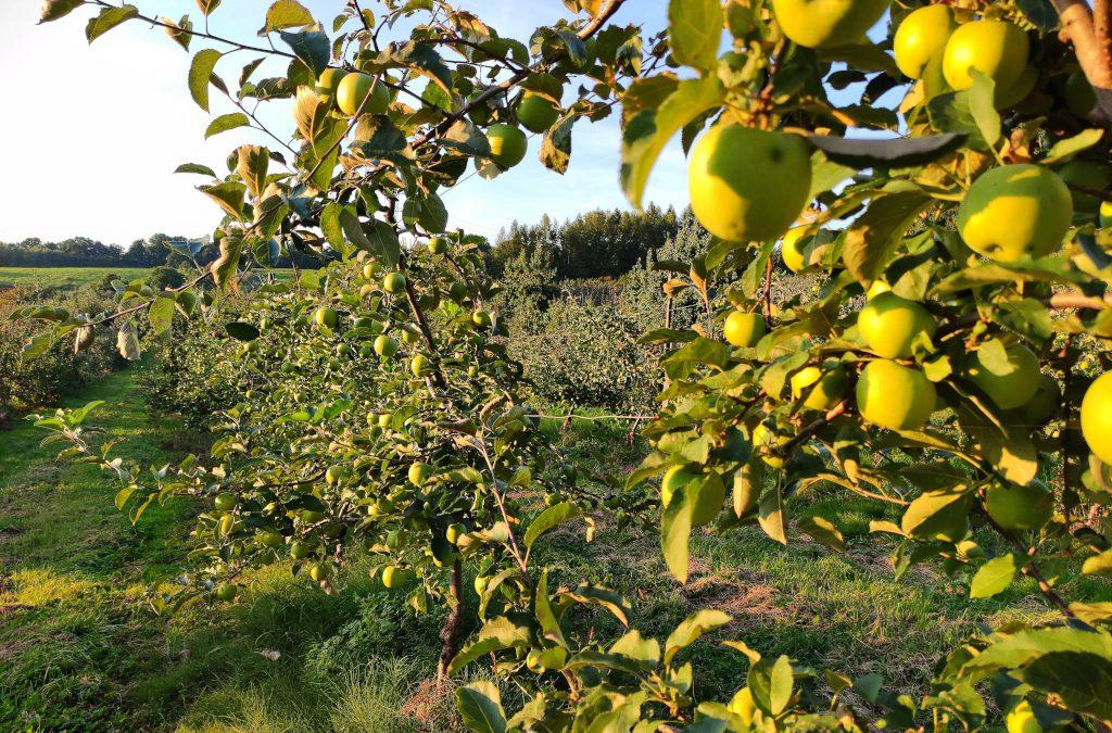 Julita z Winnicy Piwnice Antoniego z pieczonymi jabłkami z sadu Zwolińskiego